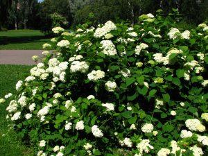 Hydrangea_arborescens_04