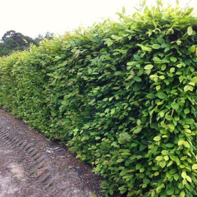 Hedge Hornbeam Wairarapa