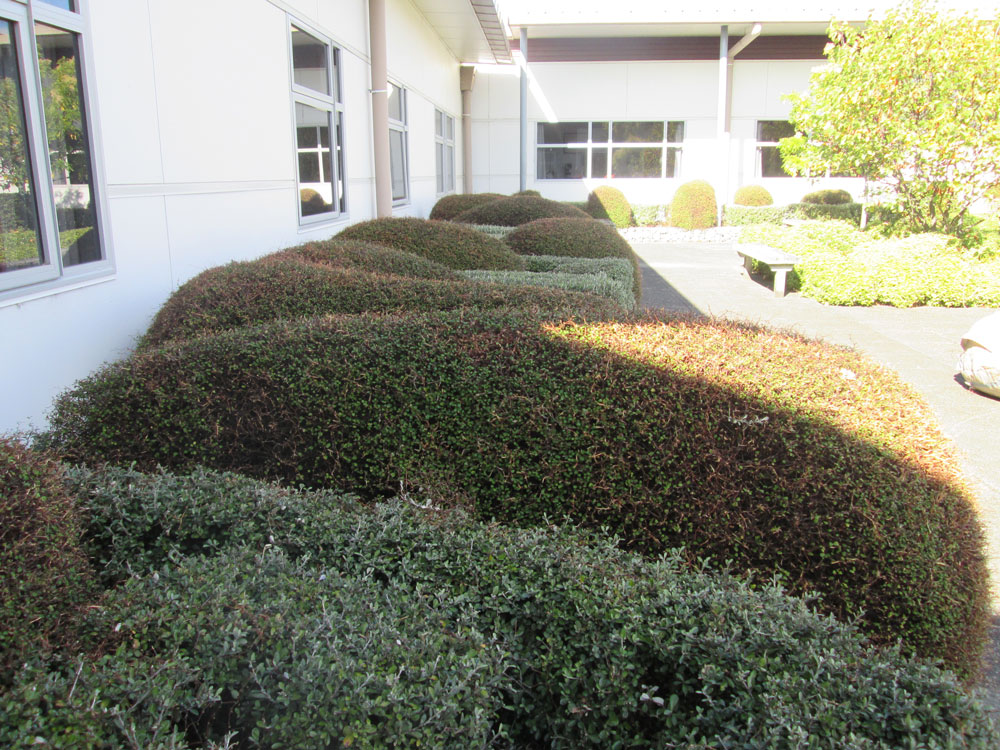Wairarapa Hospital Topiary