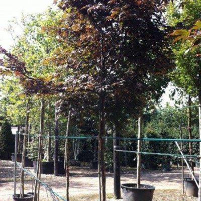acer-palmatum-bloodgood-tag-3409-450x600
