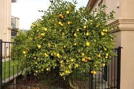 lemon meyer
