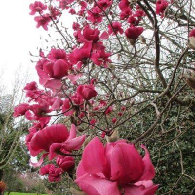 Magnolia Vulcan  Tikorangi The Jury Garden